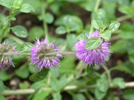 ペニーロイヤルミントの花