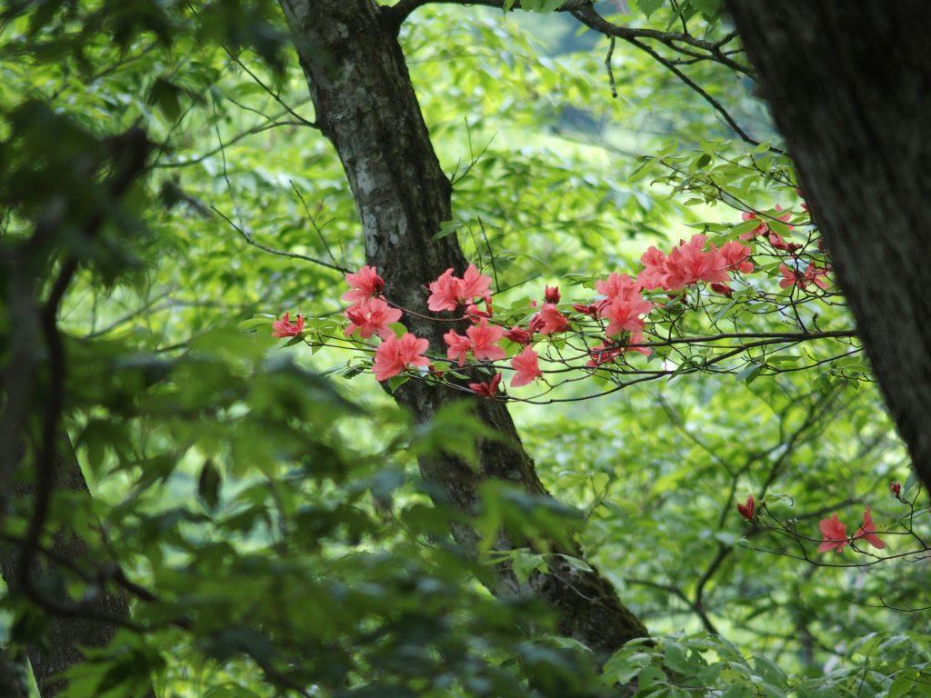 小丸尾根で花見