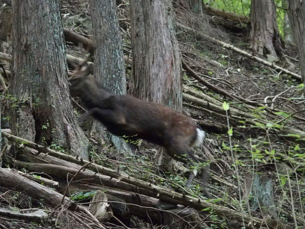 登山道を平気な顔して鹿が通る