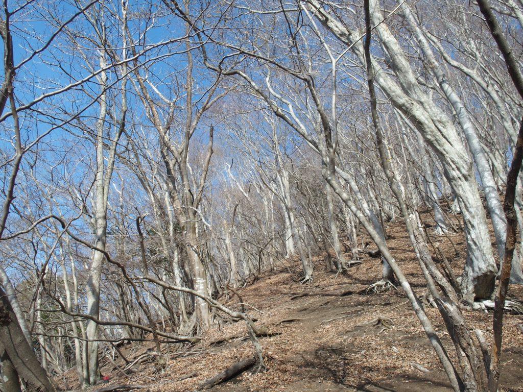 ミツマタの季節なら、広葉樹の葉がなくて空が広い