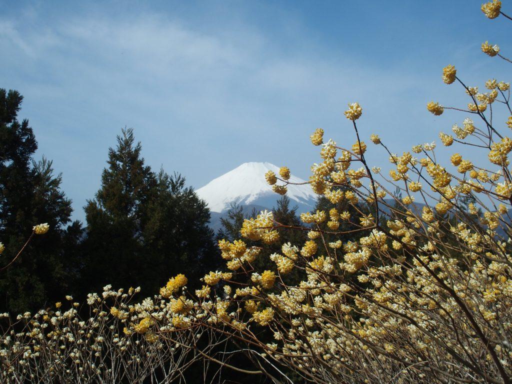 富士山とミツマタの風景
