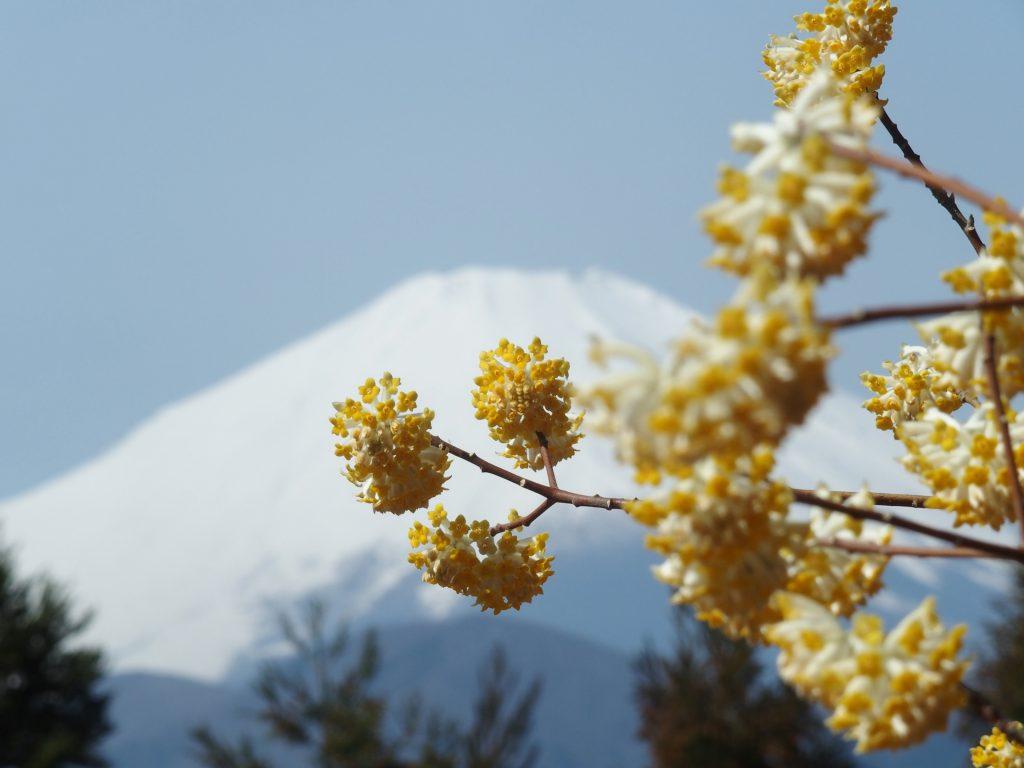 富士山をバックにミツマタ開花