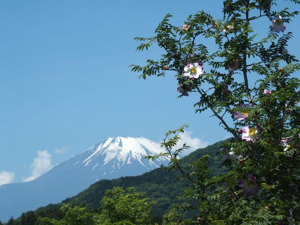 雪の富士、そしてサンショウバラ