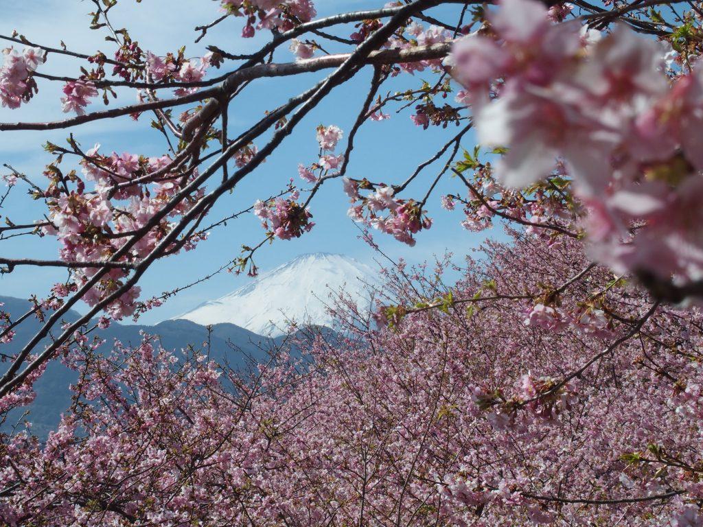 河津桜と雪の富士