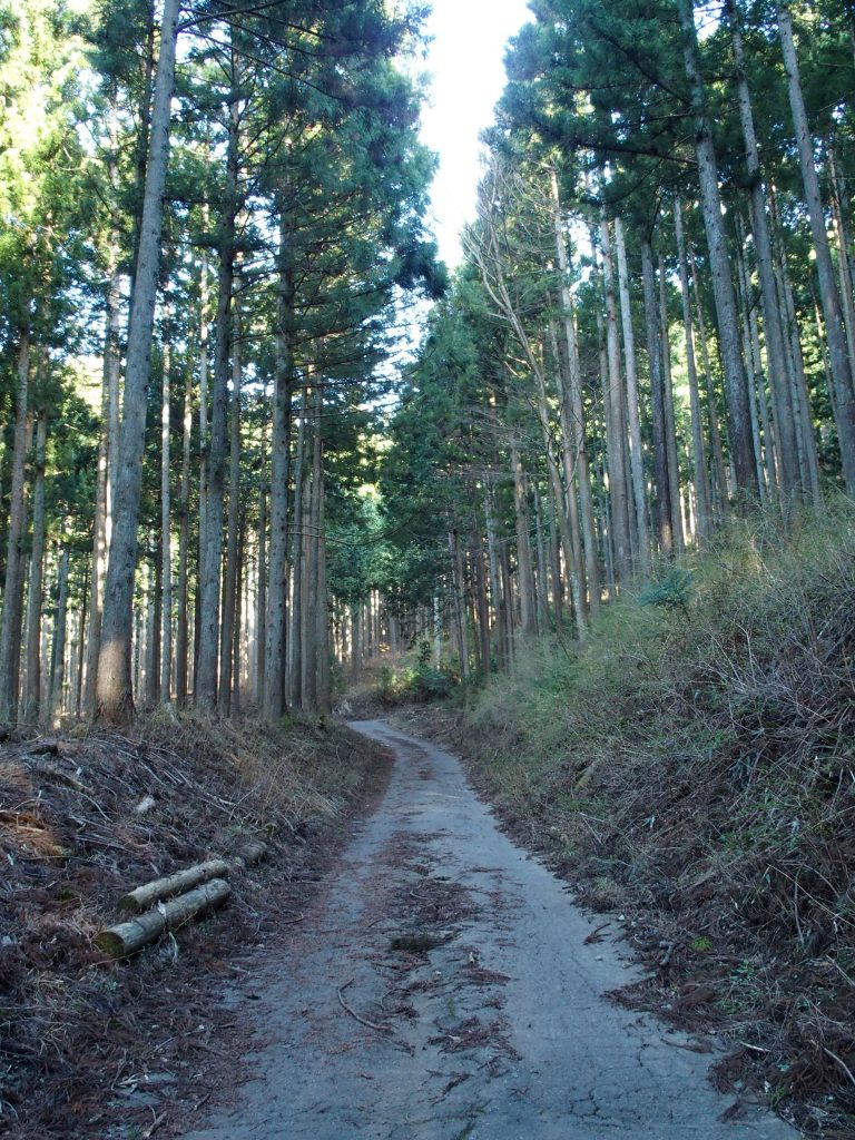 植林の中に林道が続く