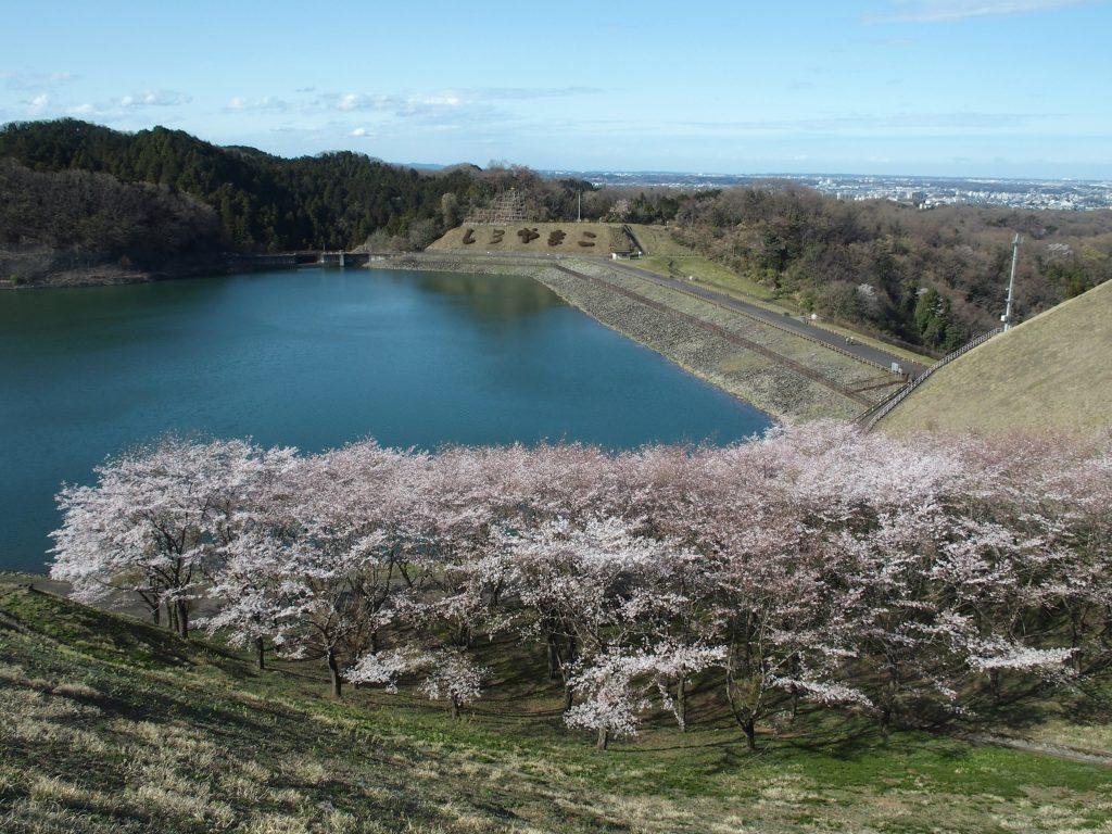 湖畔には桜