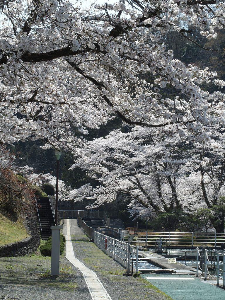 敷地内も桜でいっぱい
