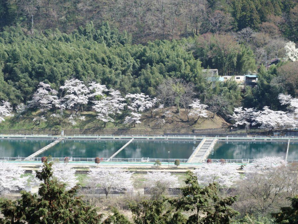 桜咲く青山沈殿池を俯瞰