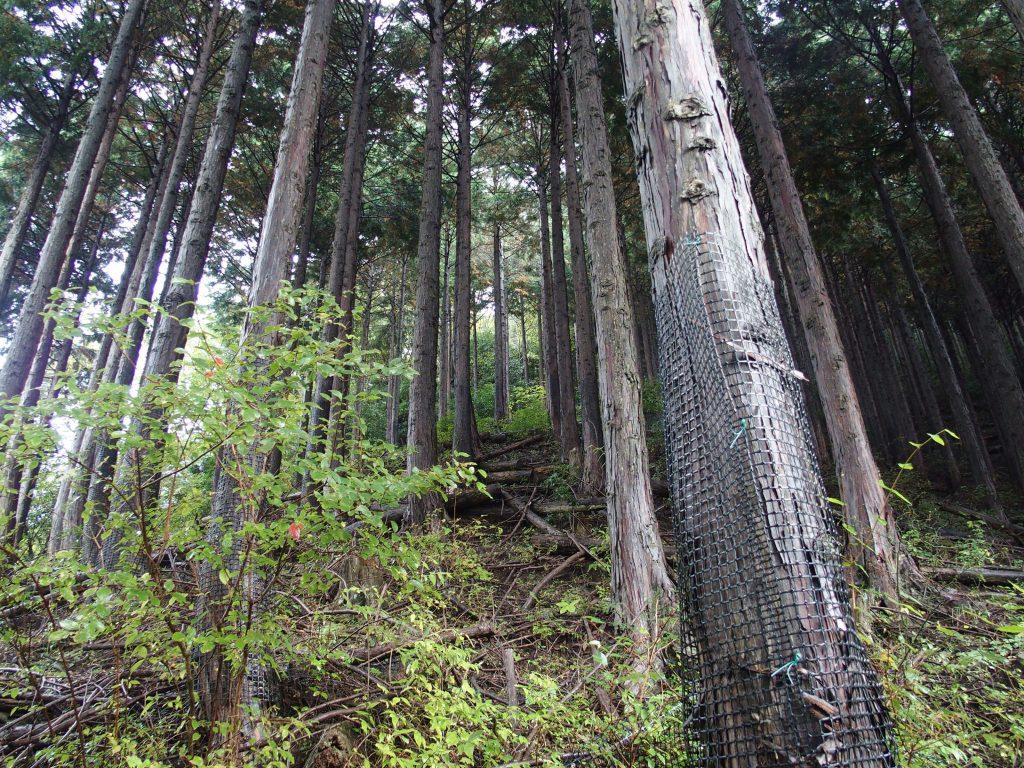 植林を登るか