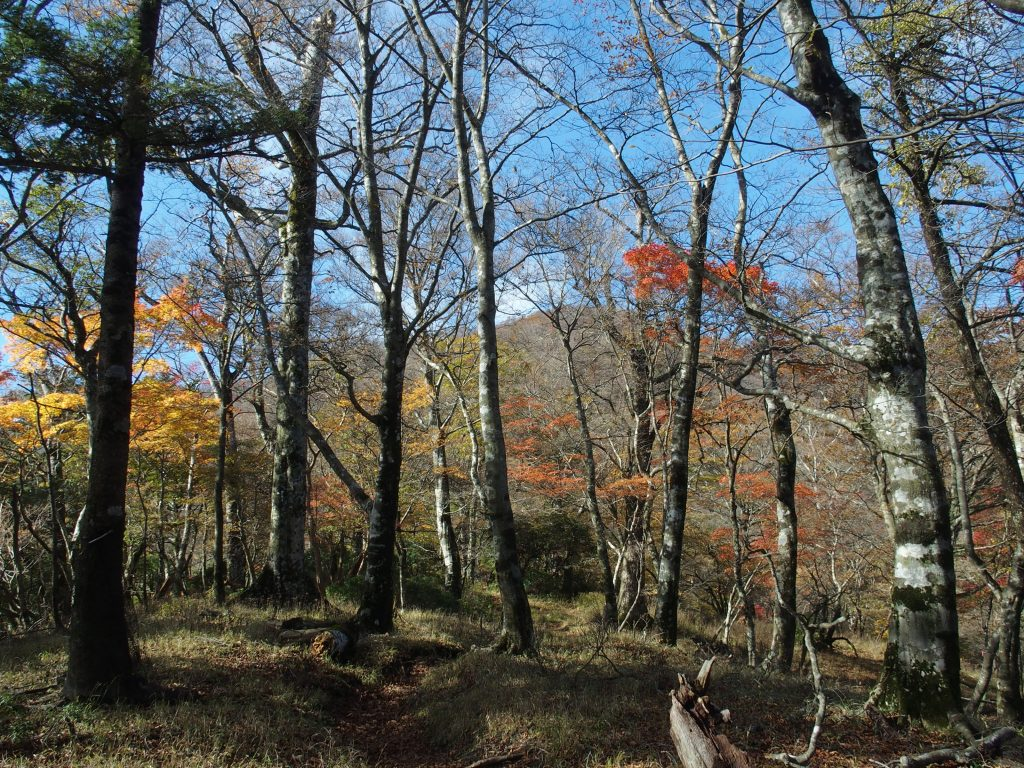 背後に丹沢山頂が見えるあたりにもブナ林がある