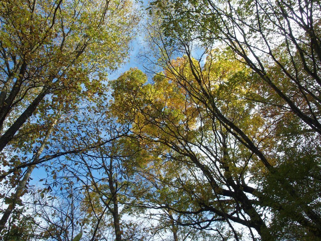 ブナ林越しの空