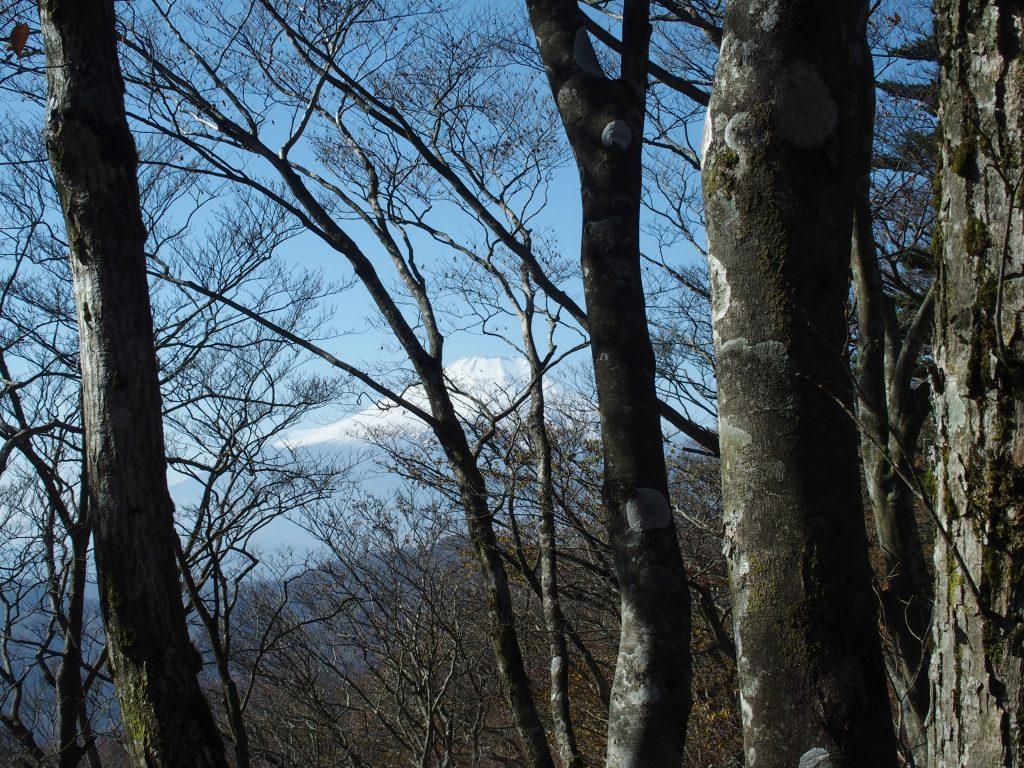 ブナ林と富士山
