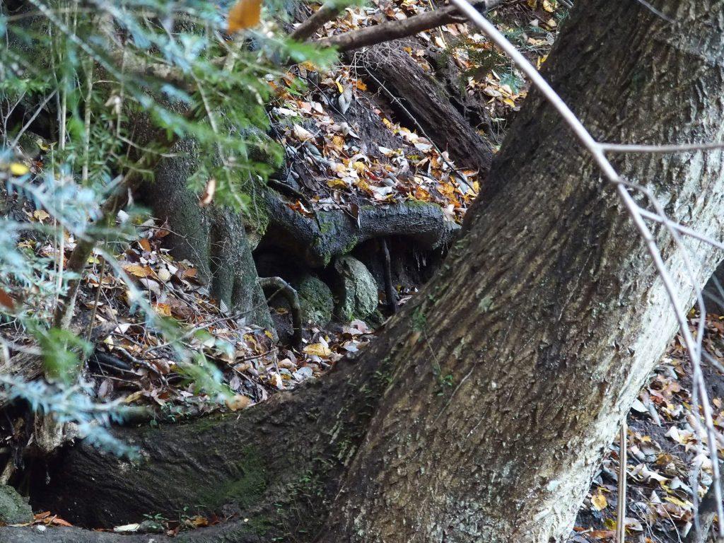 木の根には熊が冬眠するのだろうか
