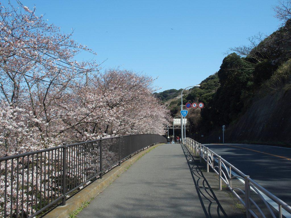 国道16号線を挟んで桜並木が続く