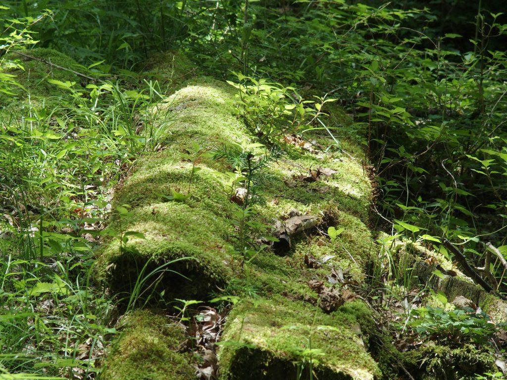 苔生した広葉樹の倒木があったり