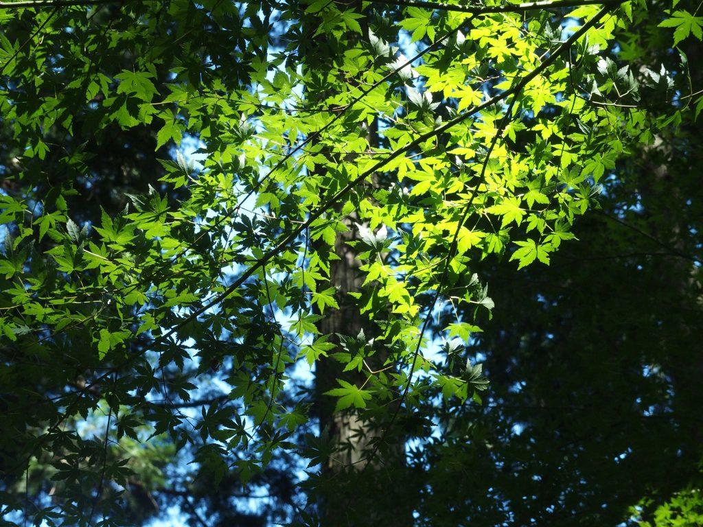 針葉樹林地帯にも広葉樹が混じる