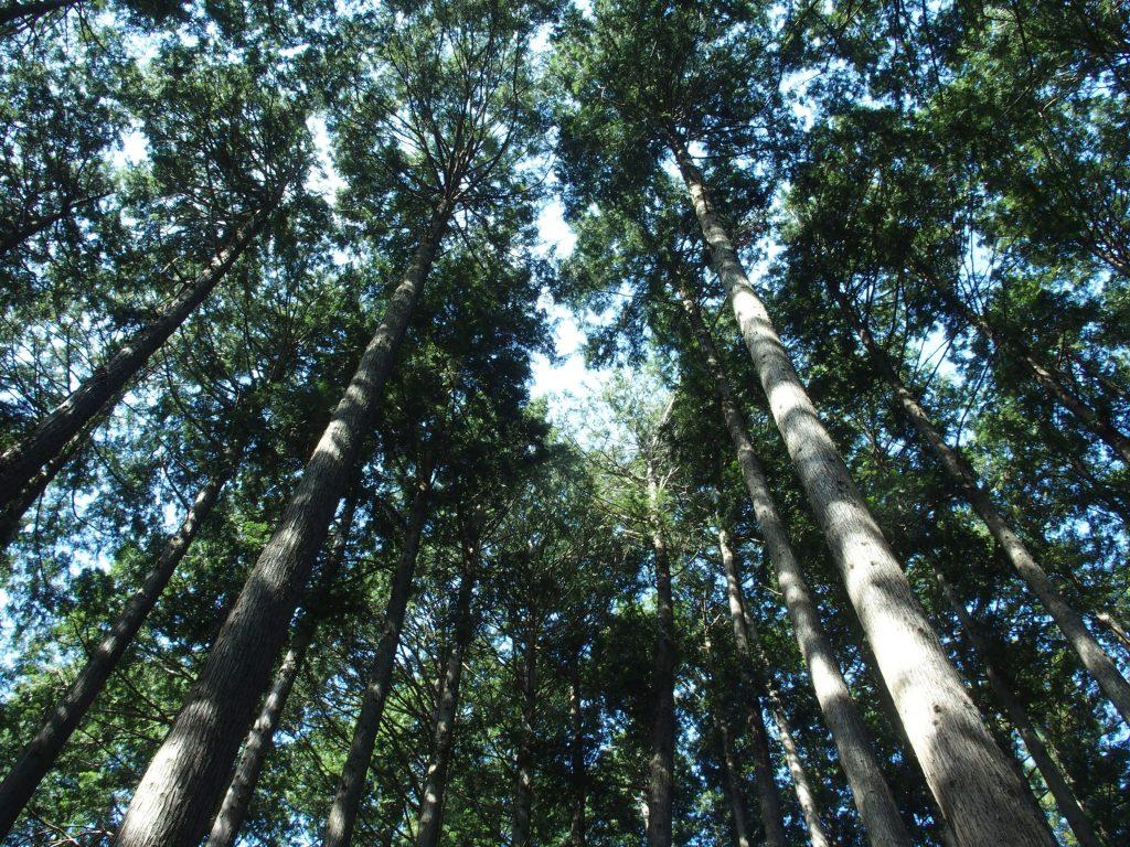 巨木を見上げる