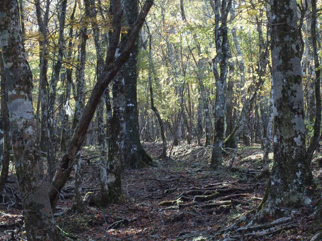 ブナ林を登る