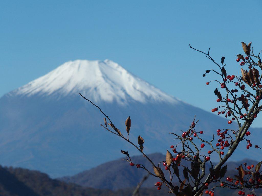 富士山の雪に映える赤い実