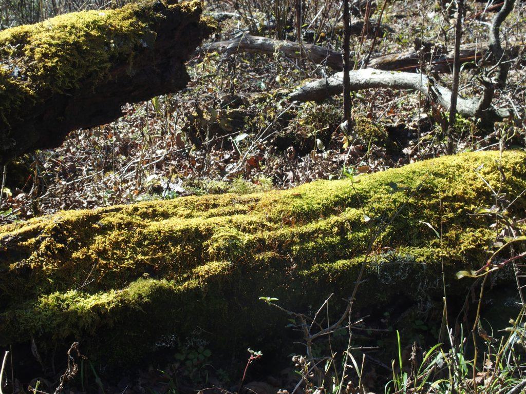 苔むした古い倒木